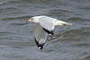October 24, 2013 (Riverlands Migratory Bird Sanctuary [Teal Pond] / West Alton, Saint Charles County, Missouri) -- Ring-billed Gull