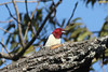 October 27, 2013 (Clarence Canon National Wildlife Refuge [near duck ponds] / Annada, Pike County, Missouri) -- Red-headed Woodpecker