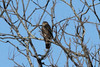 December 27, 2013 (Clarence Canon National Wildlife Refuge [over wooded trail] / Annada, Pike County, Missouri) -- Sharp-shinned Hawk