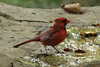 October 28, 2013 (Tower Grove Park [Gaddy Garden] / Saint Louis, Saint Louis City, Missouri) -- Northern Cardinal