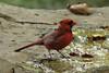 October 28, 2013 (Tower Grove Park [Gaddy Bird Garden] / Saint Louis, Saint Louis City, Missouri) -- Northern Cardinal