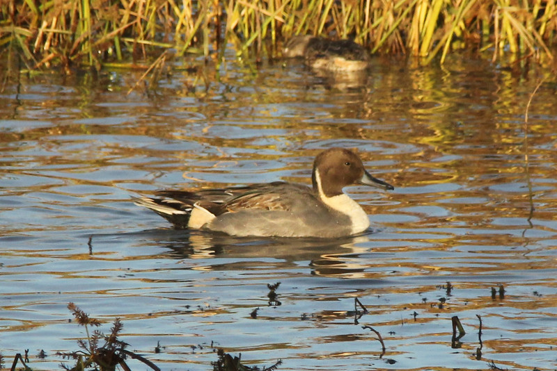 October 26, 2013 (Riverlands Migratory Bird Sanctuary [Heron Pond] / West Alton, Saint Charles County, Missouri) -- Northern Pintail