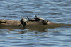October 9, 2013 (Riverlands Migratory Bird Sanctuary [Ellis Bay] / West Alton, Saint Charles County, Missouri) -- Turtles