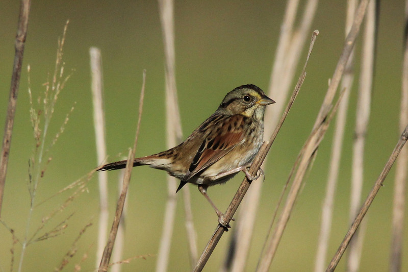 October 9, 2013 (Riverlands Migratory Bird Sanctuary [Heron Pond trail to East blind] / West Alton, Saint Charles County, Missouri) -- Swamp Sparrow