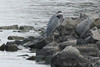 November 16, 2013 (Carlyle Lake [South Shore State Park] / Carlyle, Clinton County, Illinois) -- Great Blue Heron