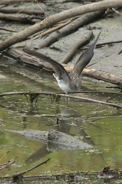 October 1, 2013 (Big Muddy National Wildlife Refuge [Boone Crossing Unit] / Chesterfield, Saint Louis County, Missouri) -- Solitary Sandpiper