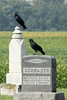 October 2, 2013 (Riverlands Migratory Bird Sanctuary [Ebenezer Cemetery] / West Alton, Saint Charles County, Missouri) -- American Crows