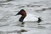 December 8, 2013 (Riverlands Migratory Bird Sanctuary [Ellis Bay] / West Alton, Saint Charles County, Missouri) -- Canvasback