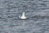 November 16, 2013 (Carlyle Lake [South Shore State Park] / Carlyle, Clinton County, Illinois) -- Bonaparte's Gull