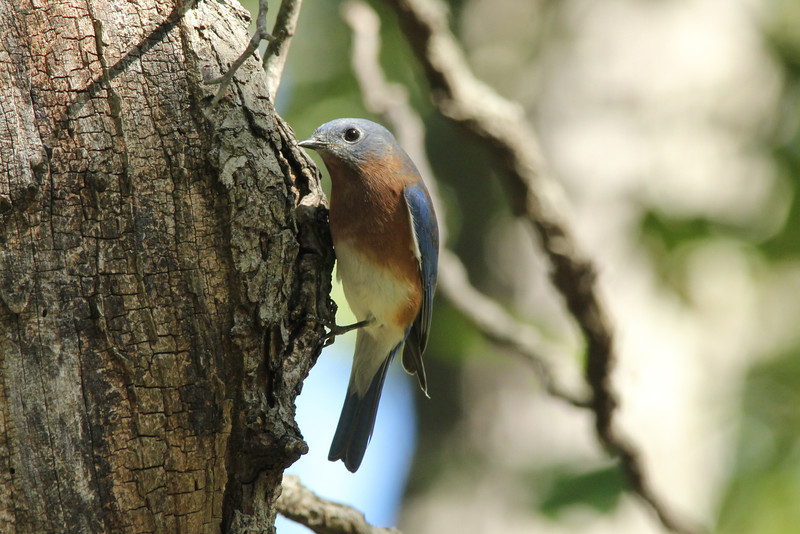 October 8, 2013 (Shaw Nature Reserve [Trail House Loop Road] / Gray Summit, Franklin County, Missouri) -- Eastern Bluebird