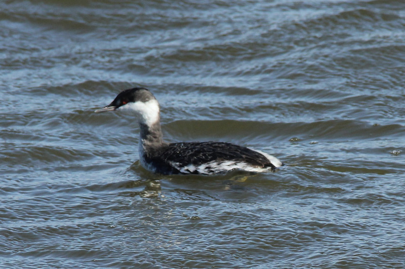 November 2, 2013 (Riverlands Migratory Bird Sanctuary [Teal Pond] / West Alton, Saint Charles County, Missouri) -- Horned Grebe
