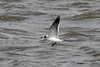October 24, 2013 (Riverlands Migratory Bird Sanctuary [Ellis Bay] / West Alton, Saint Charles County, Missouri) -- Franklin's Gull