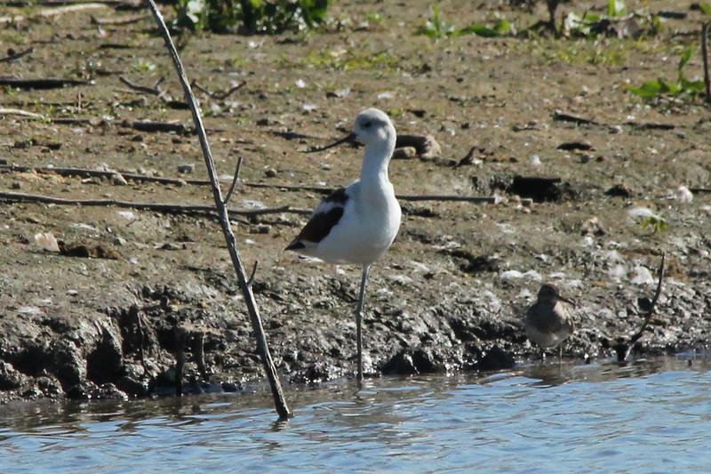 October 9, 2013 (Riverlands Migratory Bird Sanctuary [Teal Pond] / West Alton, Saint Charles County, Missouri) -- American Avocet