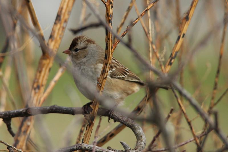 November 19, 2013 (Kaskaskia Island [across from Immaculate Conception Catholic Church] / Kaskaskia Island, Randolph County, Illinois) -- White-crowned Sparrow