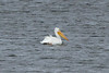 November 16, 2013 (Carlyle Lake [Dam] / Carlyle, Clinton County, Illinois) -- American White Pelican