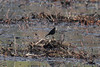 October 27, 2013 (Clarence Canon National Wildlife Refuge [overlook trail] / Annada, Pike County, Missouri) -- Female Brewer's Blackbird