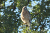 October 8, 2013 (Shaw Nature Reserve [Pinetum Loop Road] / Gray Summit, Franklin County, Missouri) -- Red-shouldered Hawk