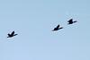 October 26, 2013 (Riverlands Migratory Bird Sanctuary [over Ellis Bay] / West Alton, Saint Charles County, Missouri) -- Double-crested Cormorants