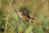 October 9, 2013 (Riverlands Migratory Bird Sanctuary [Heron Pond trail to East blind] / West Alton, Saint Charles County, Missouri) -- Marsh Wren