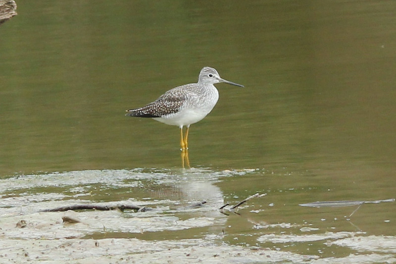 October 5, 2013 (August Busch Conservation Area [Lake 33] / Weldon Springs, Saint Charles County, Missouri) -- Greater Yellowlegs