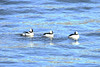 December 18, 2013 (Riverlands Migratory Bird Sanctuary [below Melvin Price Dam] / West Alton, Saint Charles County, Missouri) -- Male Buffleheads