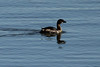 October 9, 2013 (Riverlands Migratory Bird Sanctuary [Ellis Bay] / West Alton, Saint Charles County, Missouri) -- Pied-billed Grebe