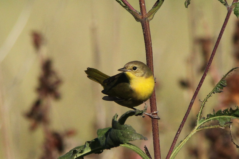 October 9, 2013 (Riverlands Migratory Bird Sanctuary [Heron Pond trail to East blind] / West Alton, Saint Charles County, Missouri) -- Common Yellowthroat
