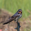 Barn Swallow, Marine Study Center