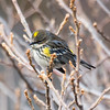 Yellow-Rumped Warbler, Jones Beach