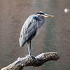 Great Blue Heron, Tibbetts Brook Park