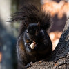 Black Squirrel, Stuyvesant Oval, NYC
