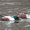 Northern Shovelers at Central Park Lake