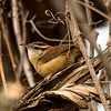 Carolina Wren, Tibbetts Brook Park