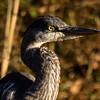 Great Blue Heron, Tibbetts Brook Park