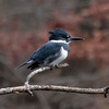 Belted Kingfisher, Tibbetts Brook Park