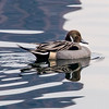 Northern Pintail at Central Park Reservoir