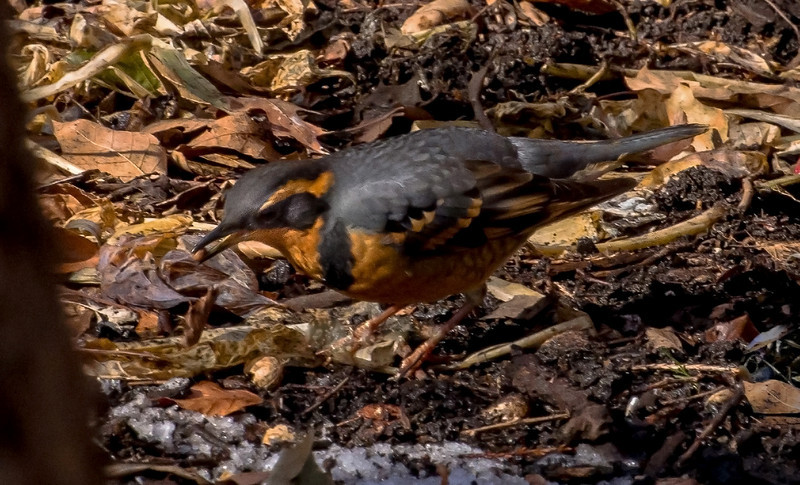 Varied Thrush, Stuyvesant Oval, NYC