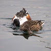 Northern Shovelers at Central Park Reservoir