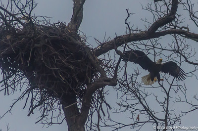 Eagle and Nest near Llano, Texas