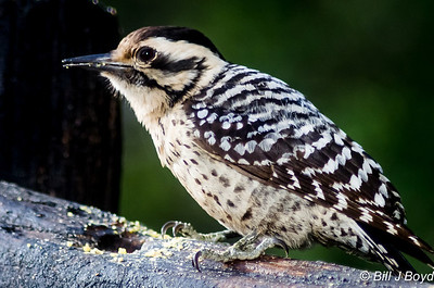 Ladderback Woodpecker (Female)