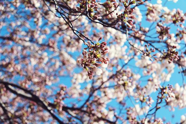 2013 Cherry Blossom Festival