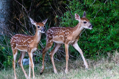 Fawns in my backyard.....Austin, Texas