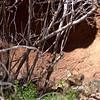 Sonoran Desert Museum - mountain lion