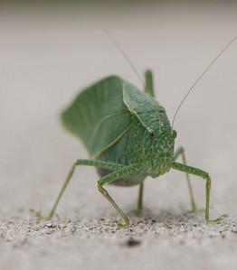 Green Leaf Grasshopper