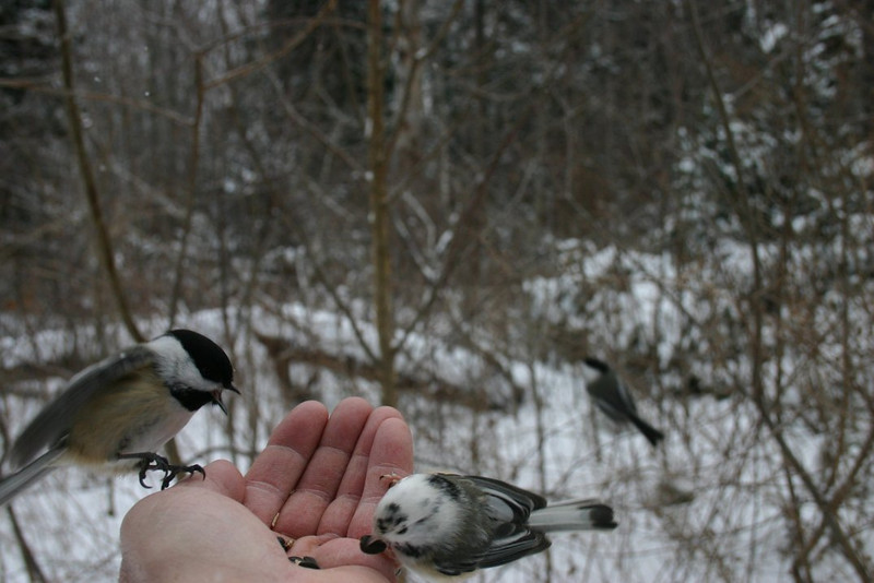 Black-capped Chickadees-Shubie Park Dartmouth January 19th