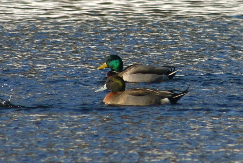 Hybrid PINTAIL X MALLARD-Sullivans Pond February 15, 2013