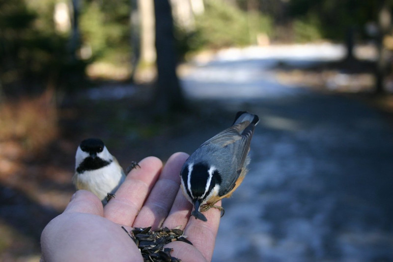 Chickadee and nuthatch-Shubie Park Dartmouth