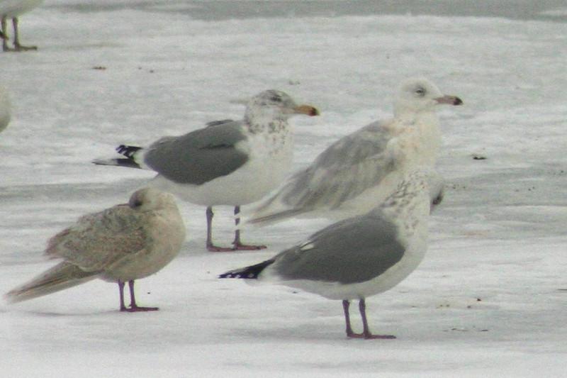 3rd winter Glaucous Gull- Sullivans Pond February 11th 2013