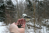 unusual Black-capped Chickadee-Shubie Park Dartmouth January 19th