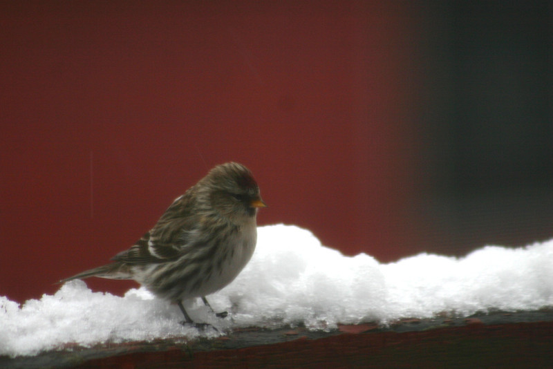 Common Redpoll-January 19th Dartmouth